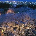 福岡城跡のサクラ